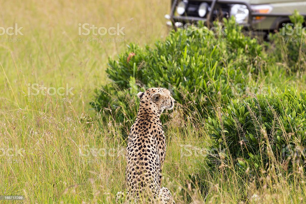 Cheetah and Safari Car at Masai Mara royalty-free stock photo