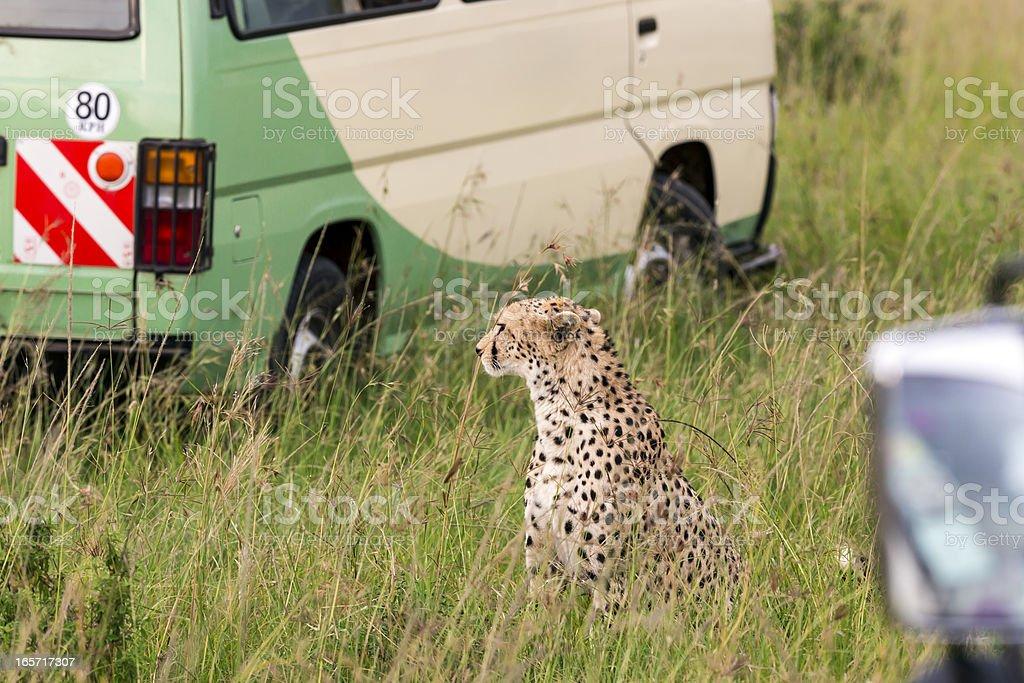 Cheetah is sitting behind the safari cars in the grass at Savannah at...