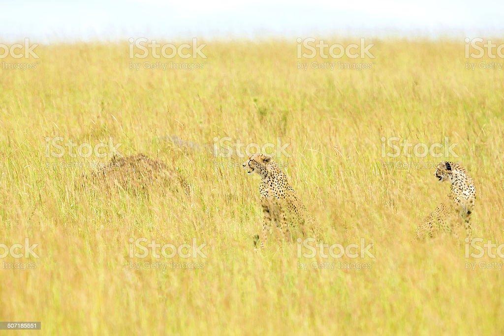 Cheetah at Savannah - Camouflage royalty-free stock photo