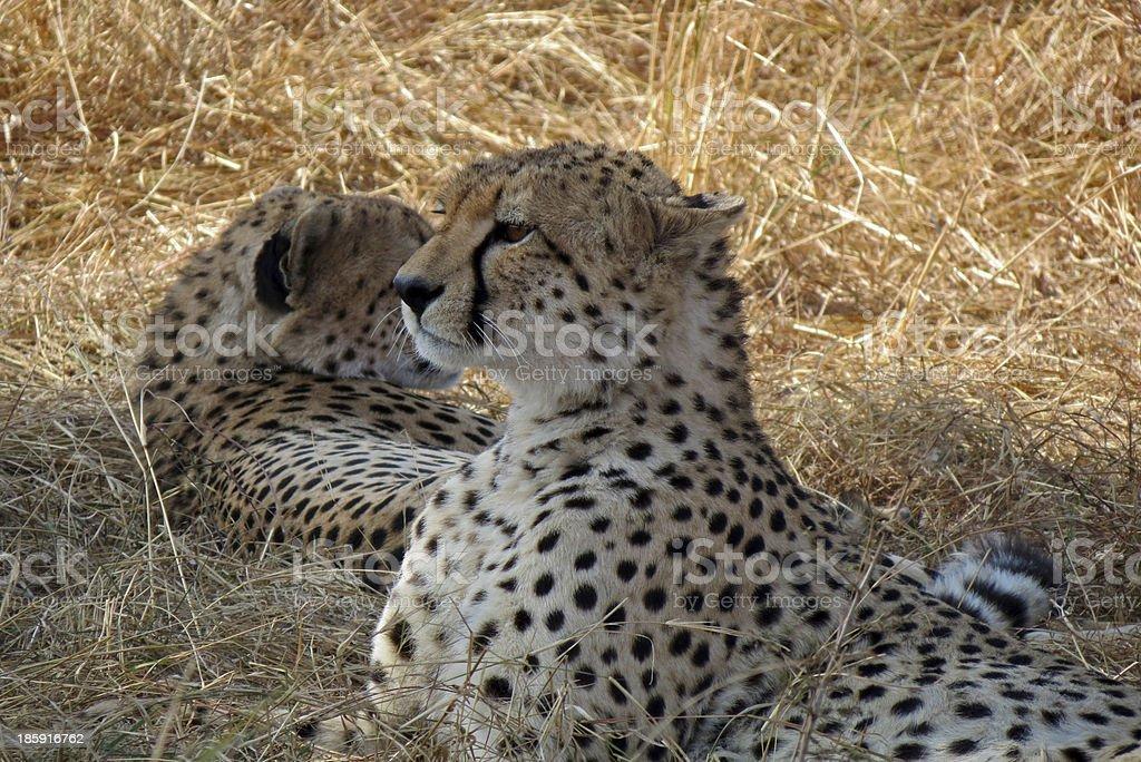 Cheetah brothers royalty-free stock photo