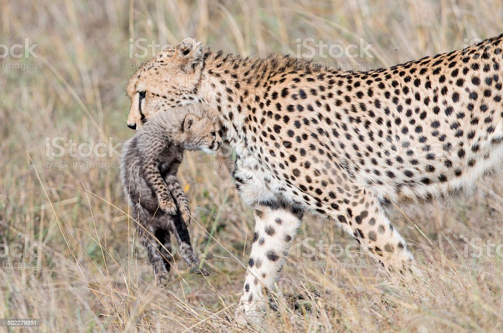 Cheetah carrying its  cub  , Masai Mara , Kenya stock photo