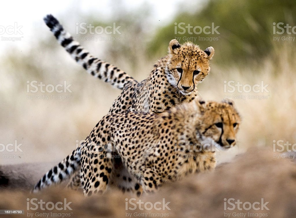 Cheetah chase stock photo