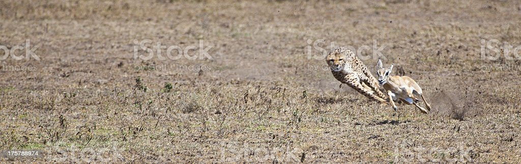 A cheetah chasing its prey in the desert stock photo