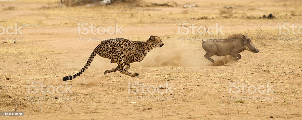 Cheetah chasing warthog at top speed stock photo