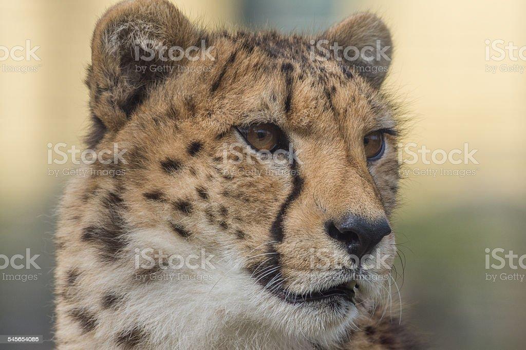 Cheetah closeup stock photo