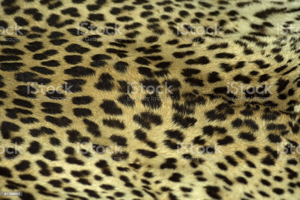 Cheetah Coat stock photo