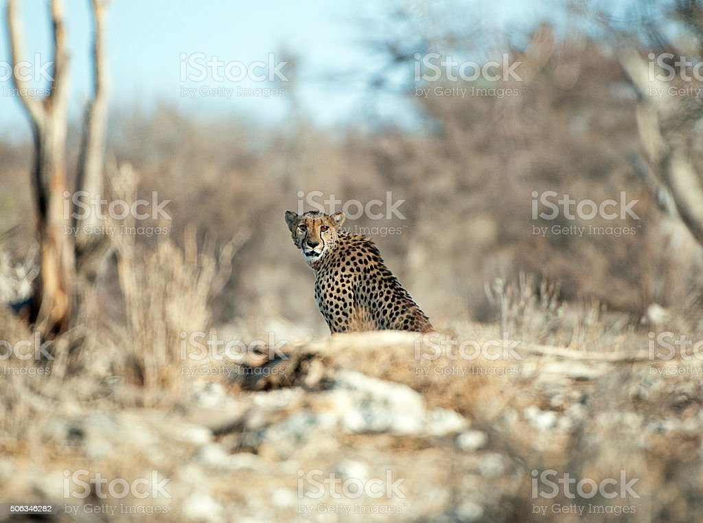 Cheetah concentration, Etosha National Park, Namibia, Africa stock photo
