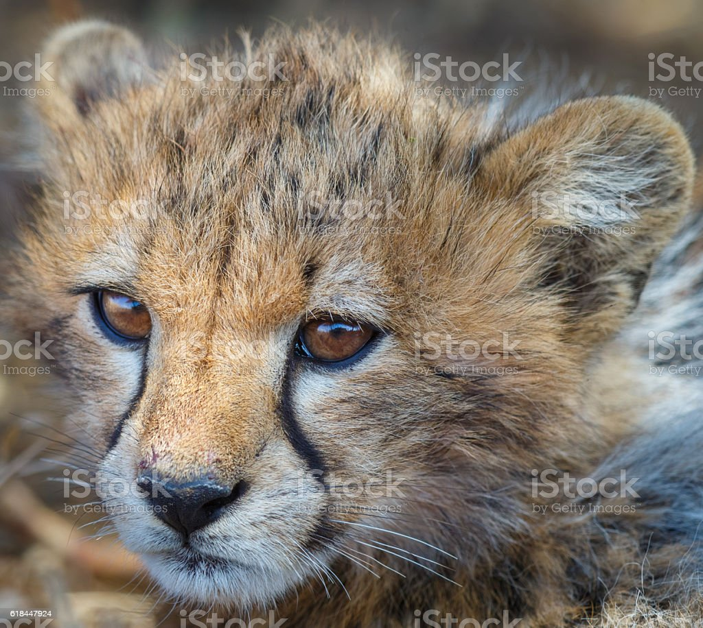 Cheetah Cub at Serengeti National Park, Tanzania Africa stock photo