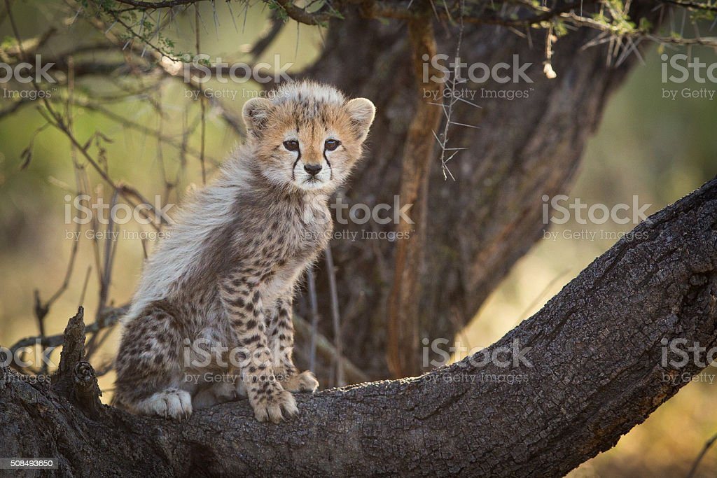 Cheetah cub in tree, Serengeti, Tanzania stock photo