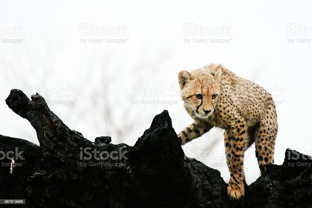 Cheetah cub on burnt wood stock photo