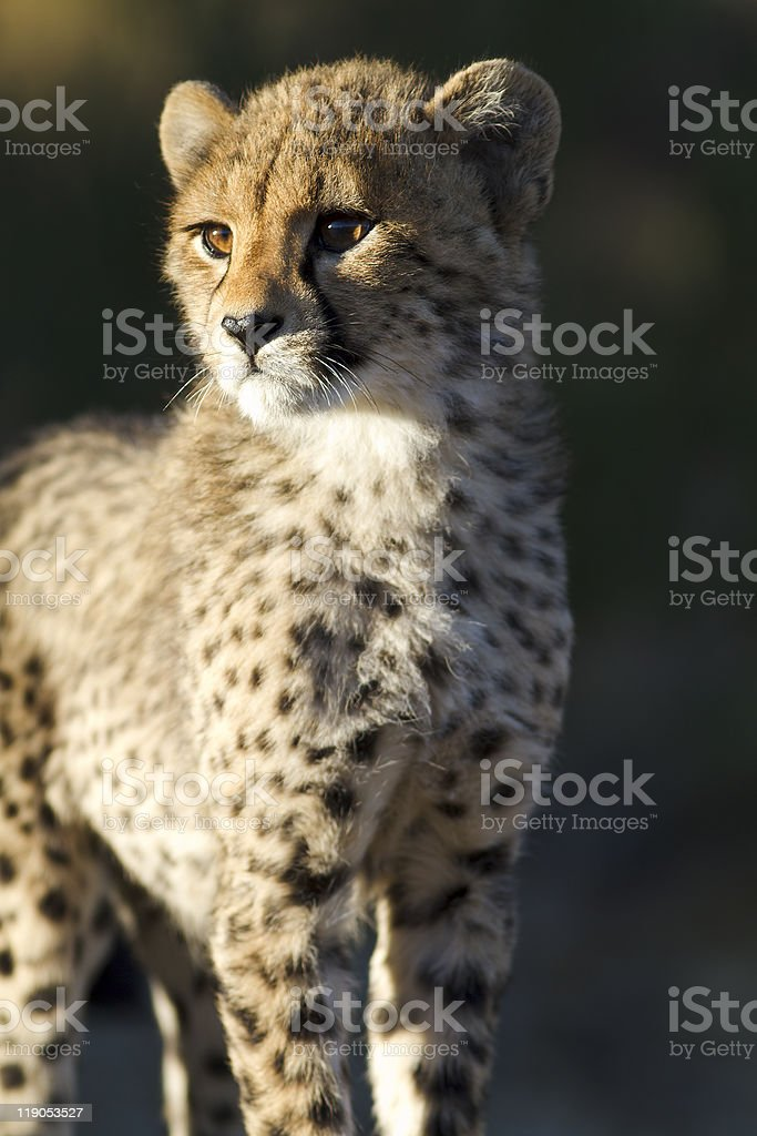 Cheetah cub royalty-free stock photo
