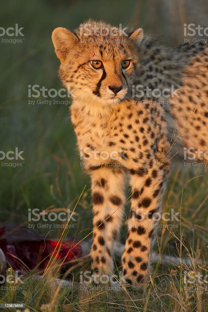Cheetah cub royalty-free stock photo