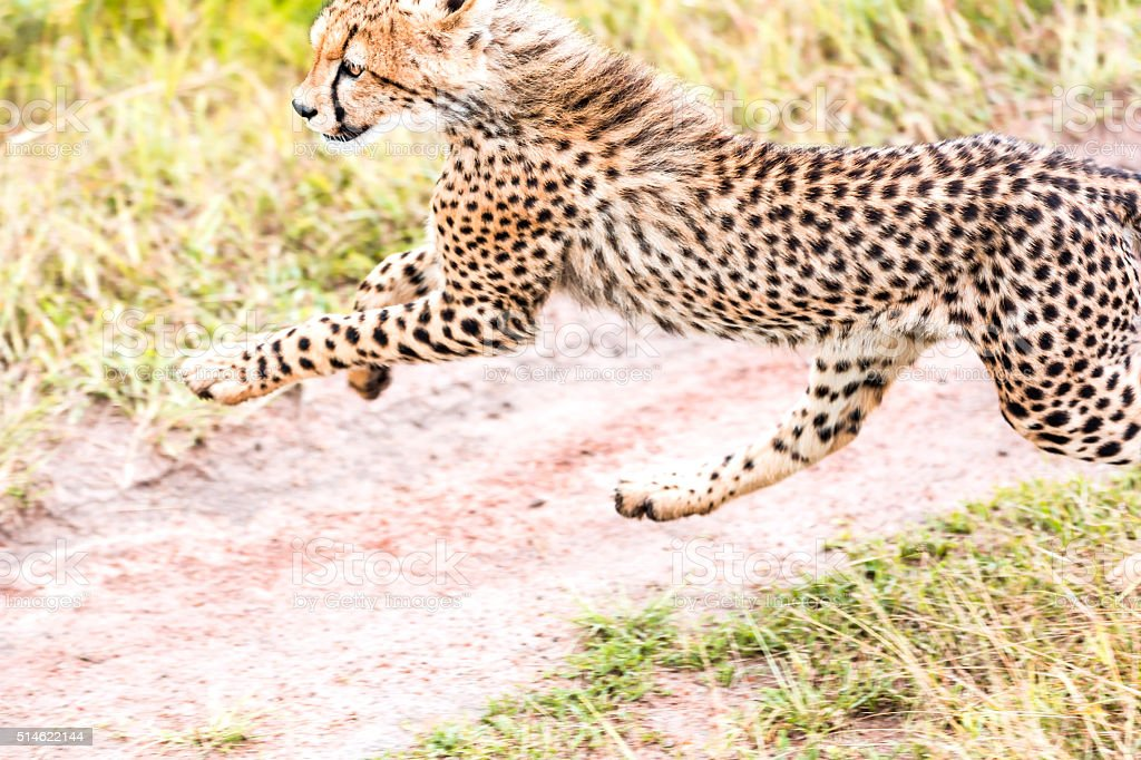 Cheetah cub running stock photo