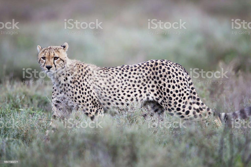 Cheetah cub, Serengeti royalty-free stock photo