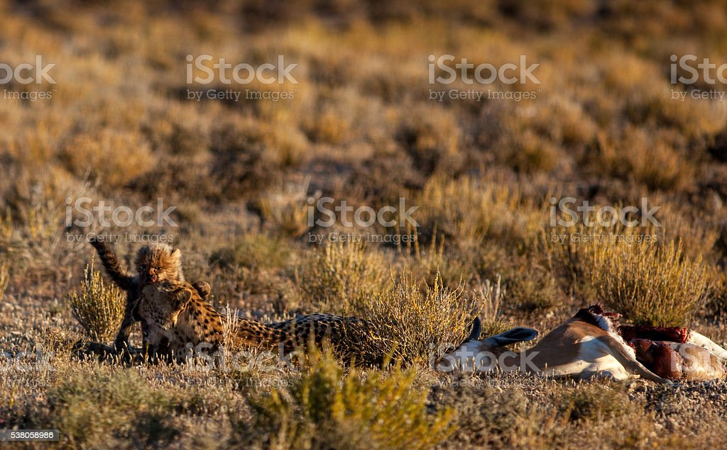 Cheetah cub with mother and carcass stock photo