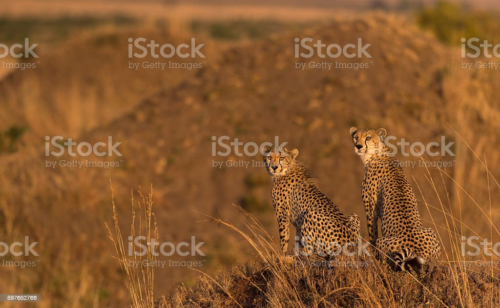 Cheetah Cub with Mother in Morning light stock photo