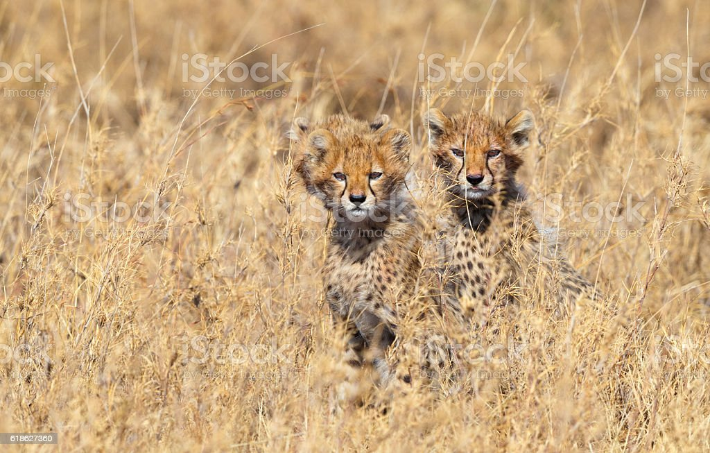 Cheetah Cubs in Serengeti National Park, Tanzania Africa stock photo