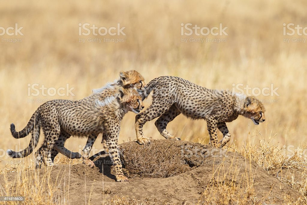 Cheetah Cubs in the Serengeti, Tanzania Africa stock photo
