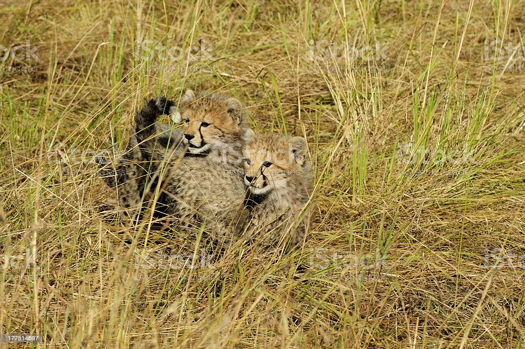 Cheetah Cubs Looking For Their Mother stock photo