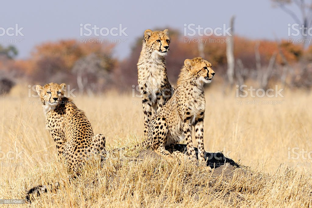 Cheetah cubs on termite mount stock photo