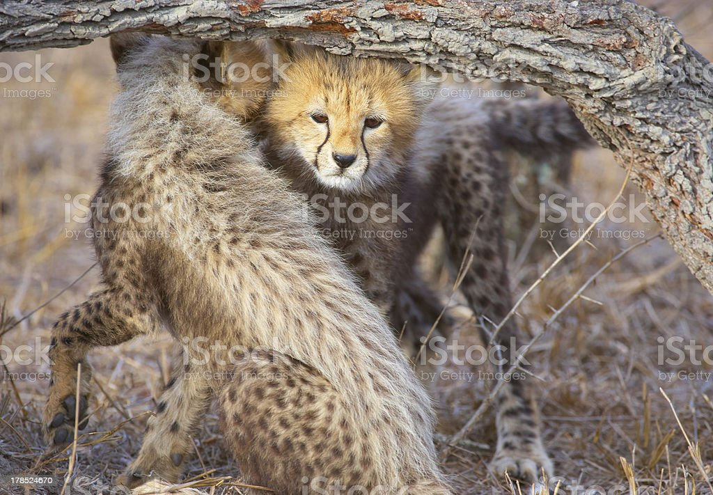Cheetah (Acinonyx jubatus) cubs royalty-free stock photo