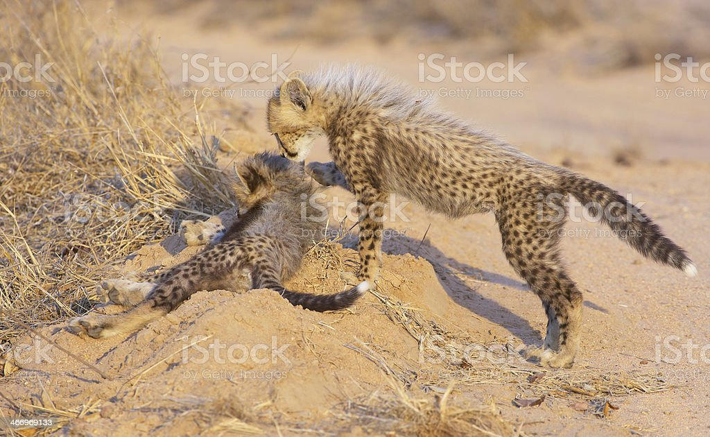 Cheetah (Acinonyx jubatus) cubs royalty-free stock photo
