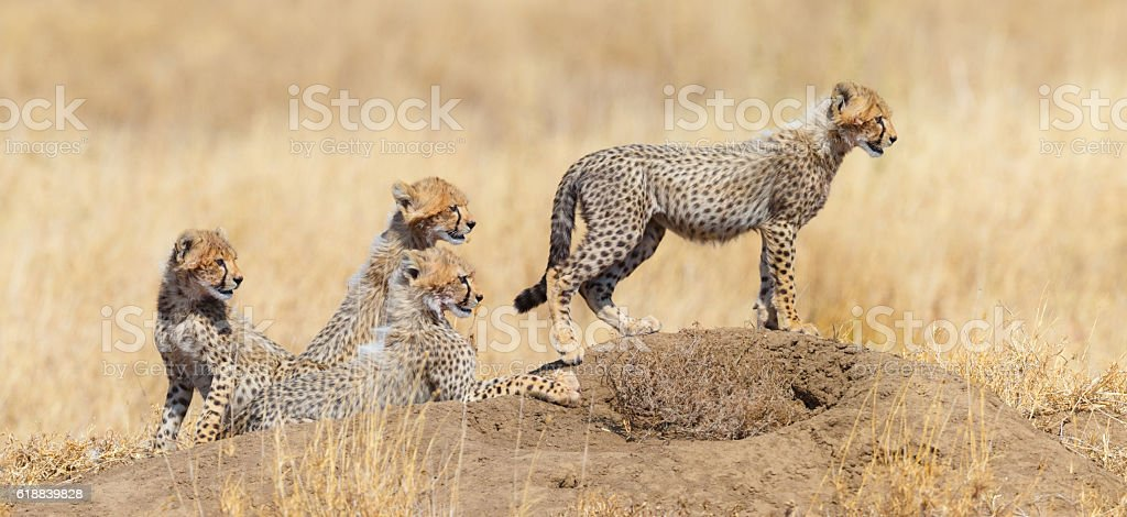 Cheetah Cubs, Serengeti National Park, Tanzania Africa stock photo