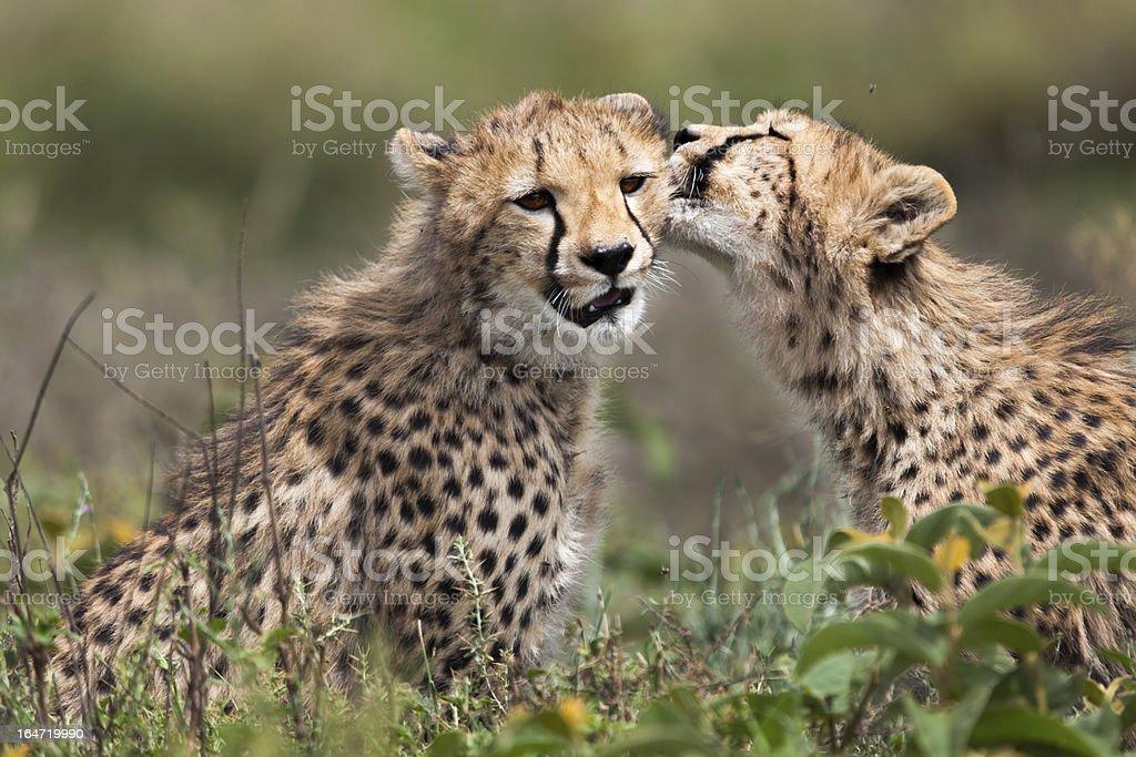 Cheetah cubs, Serengeti royalty-free stock photo