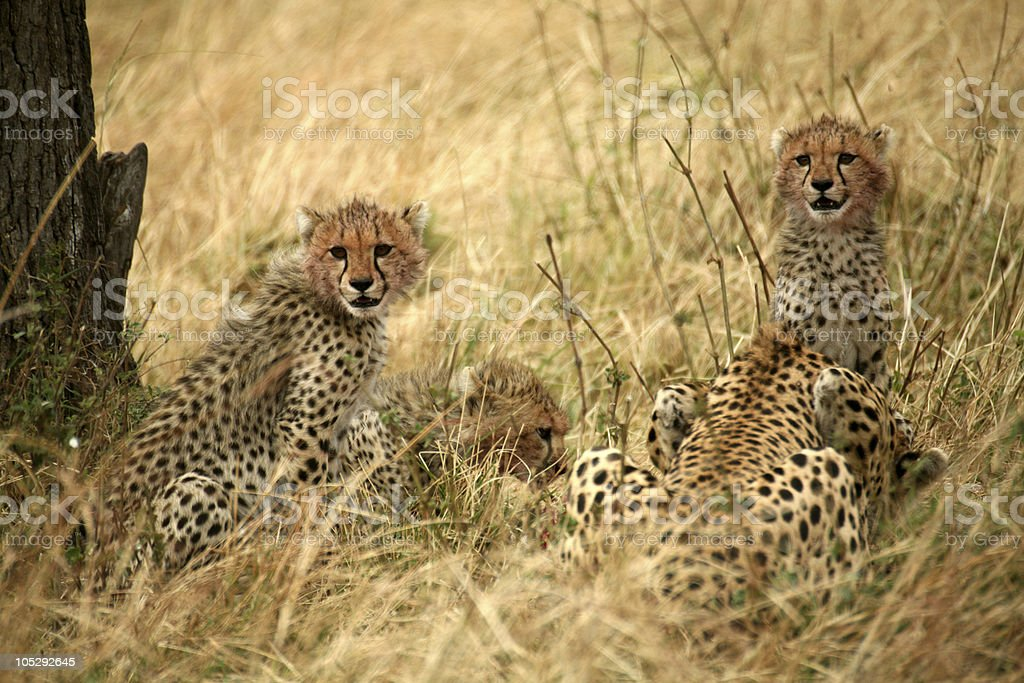 Cheetah cubs with a kill royalty-free stock photo