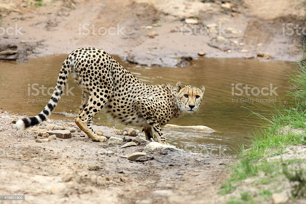 Cheetah drinking stock photo