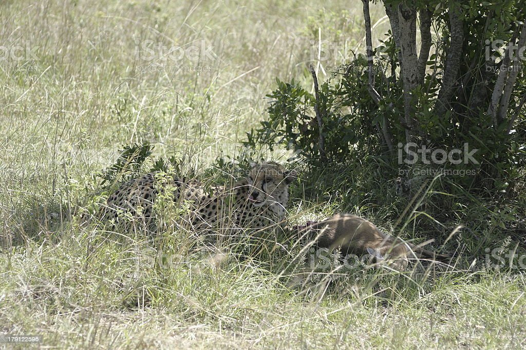 Cheetah eating in the afternoon, Masai Mara, Kenya, East Africa royalty-free stock photo