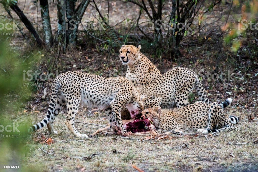 Cheetah Eating stock photo