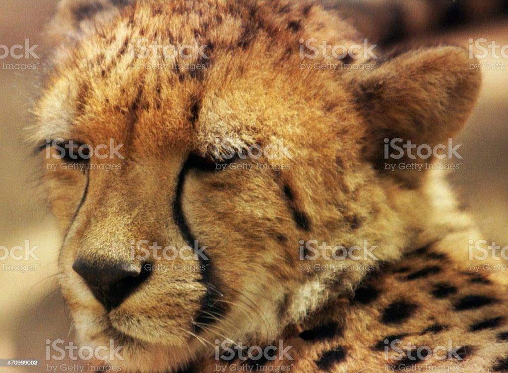 Cheetah face (Close up) royalty-free stock photo