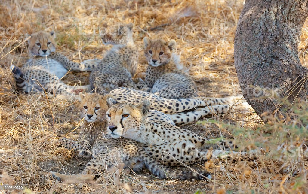 Cheetah Family in Serengeti National Park, Tanzania Africa stock photo