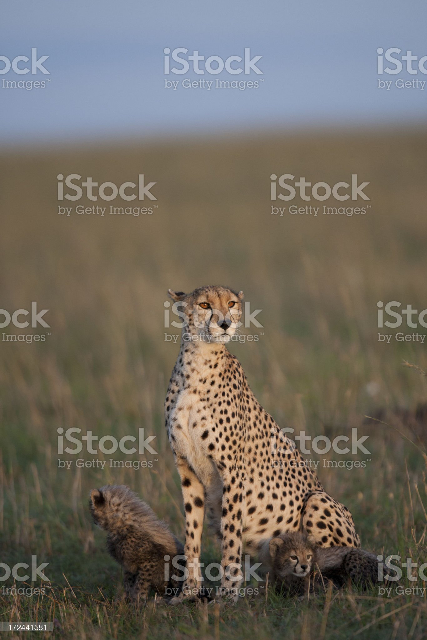 Cheetah family royalty-free stock photo