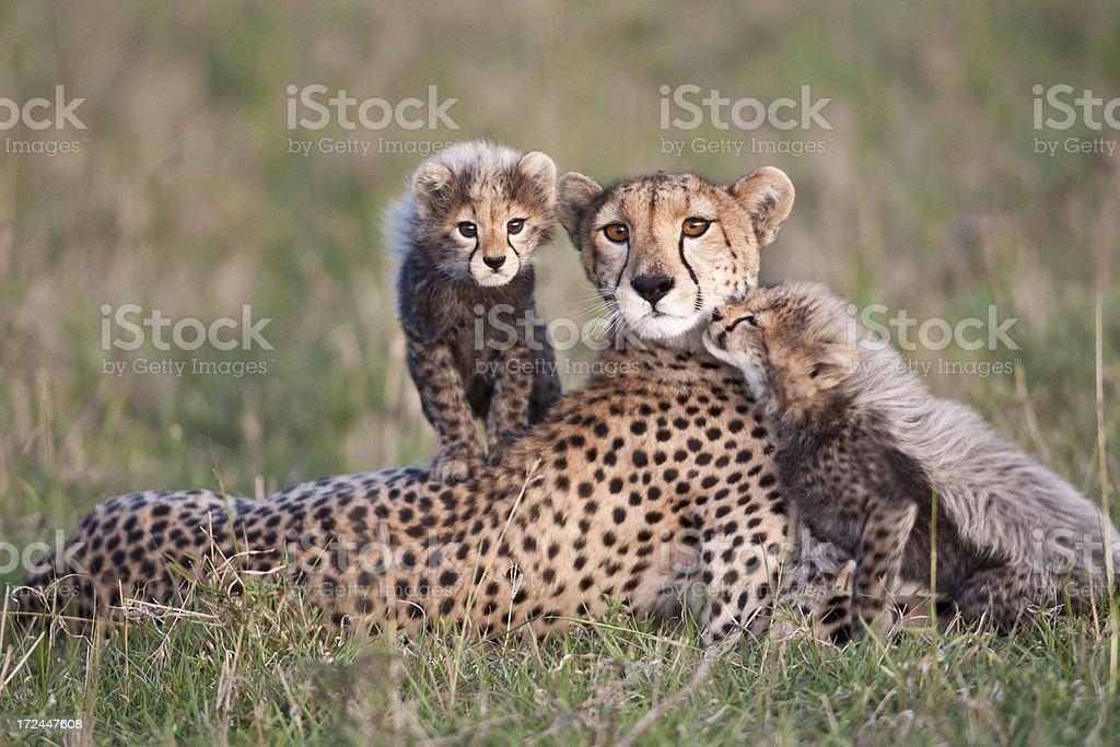 Cheetah Family royalty-free stock photo