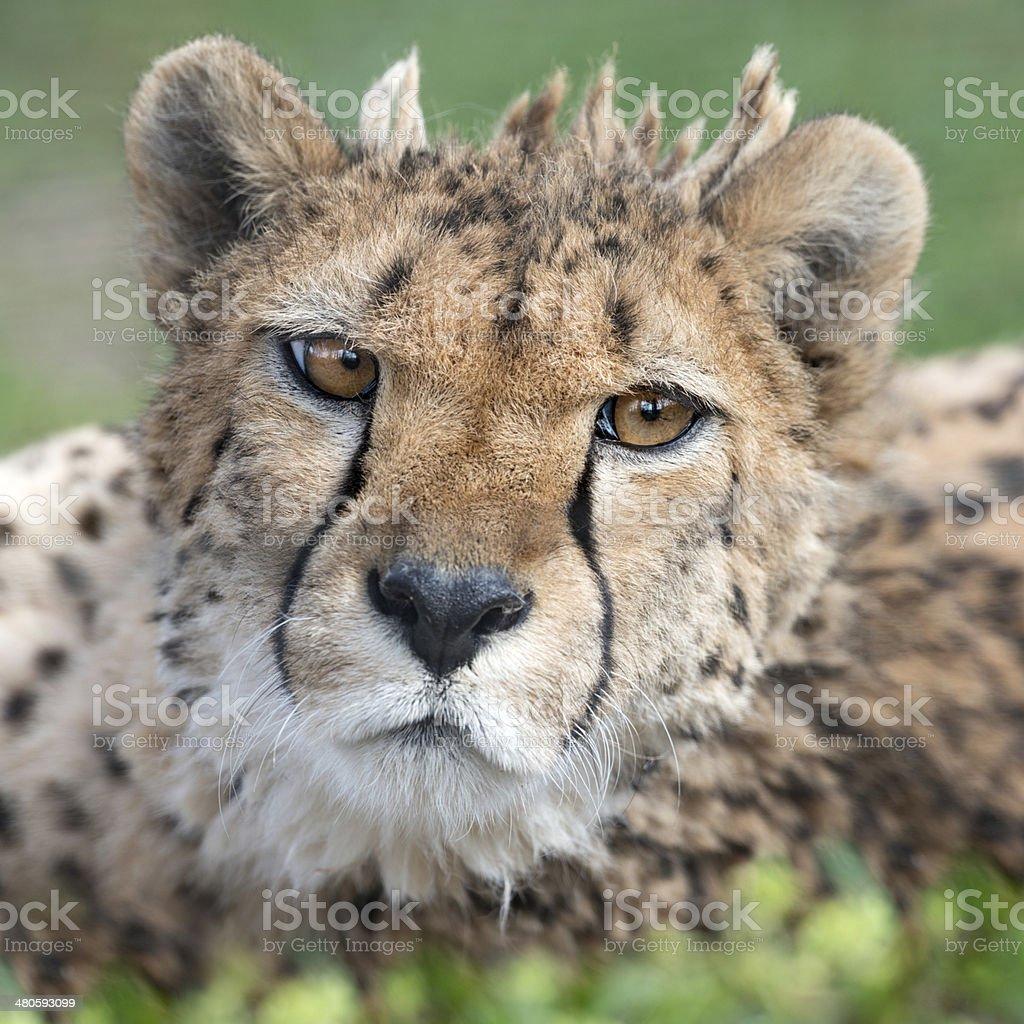 Cheetah, Gepard, Acinonyx Jubatus royalty-free stock photo