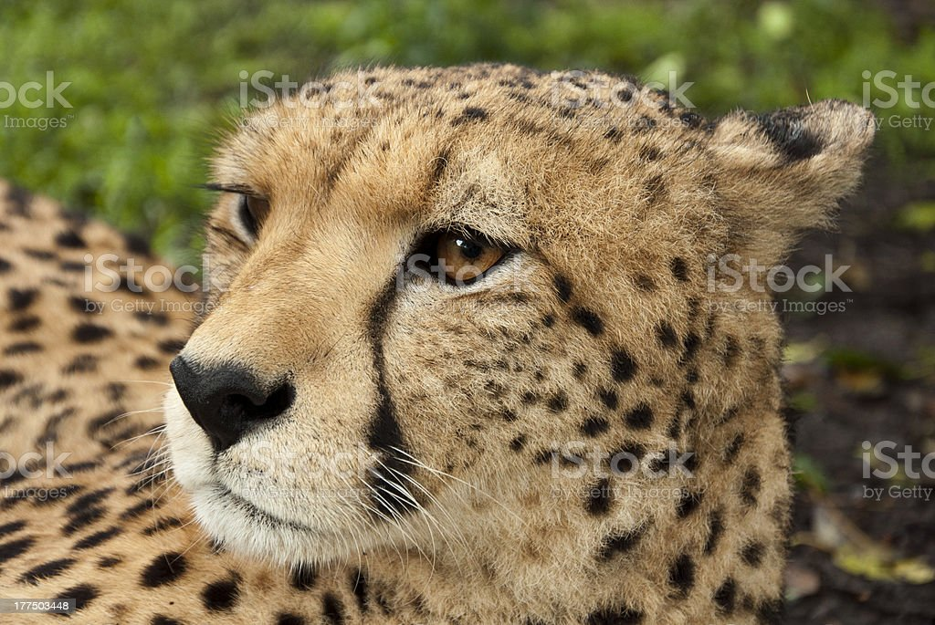 Cheetah Head royalty-free stock photo