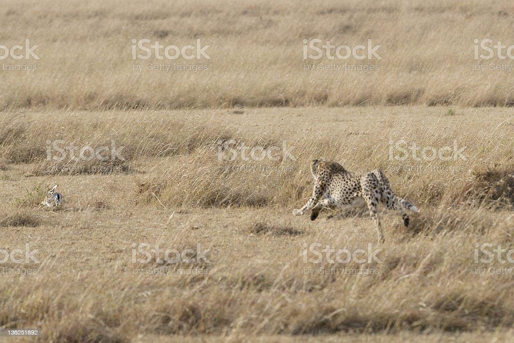 Guépard chasse un Lièvre photo libre de droits