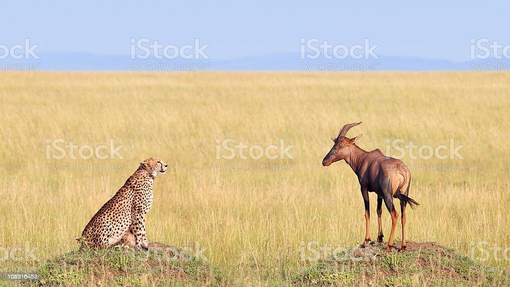 Cheetah Hunting Antelope in Africa Safari Landscape stock photo