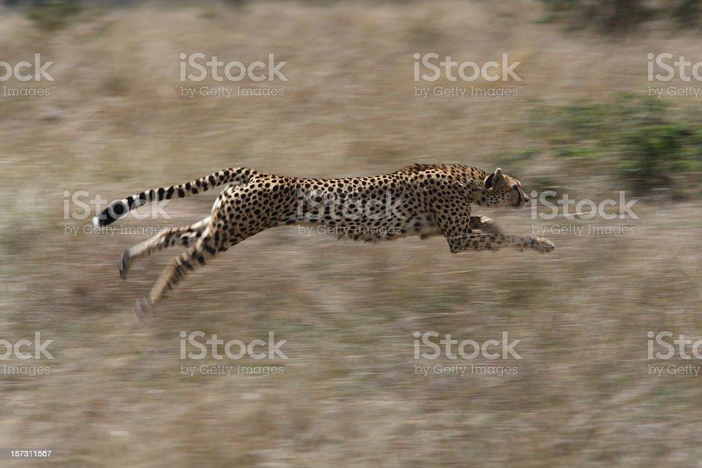 Cheetah hunting royalty-free stock photo
