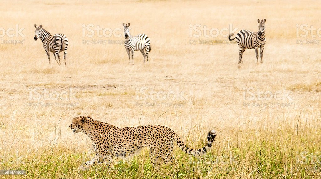 Cheetah - hunting stock photo
