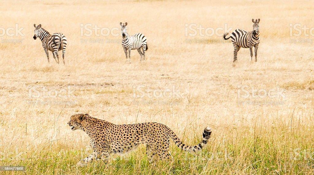 Cheetah - hunting stock photo