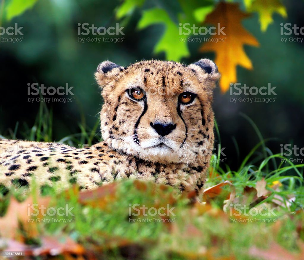 Cheetah in autumn stock photo