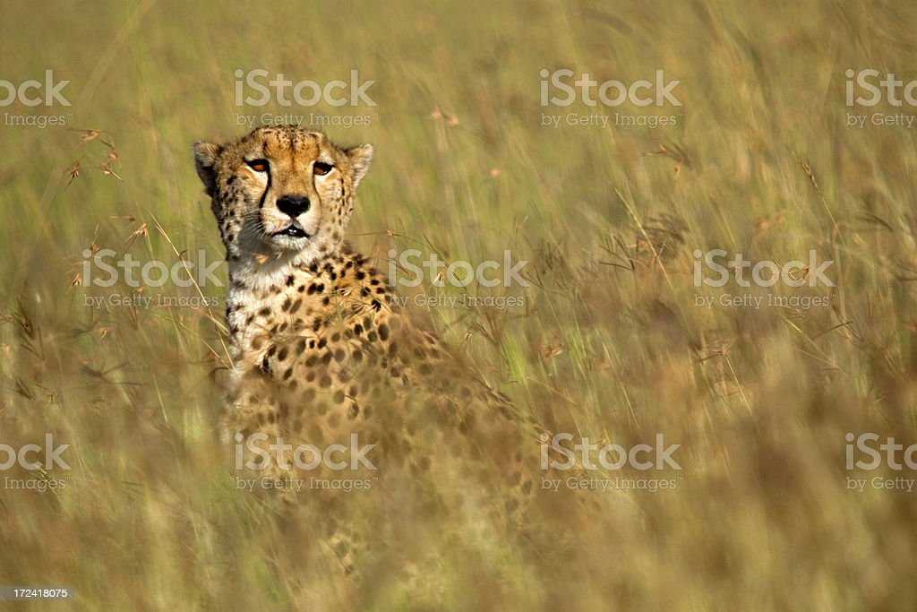 Cheetah in high grass royalty-free stock photo