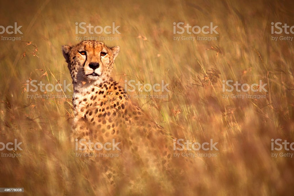 Cheetah in high grass stock photo