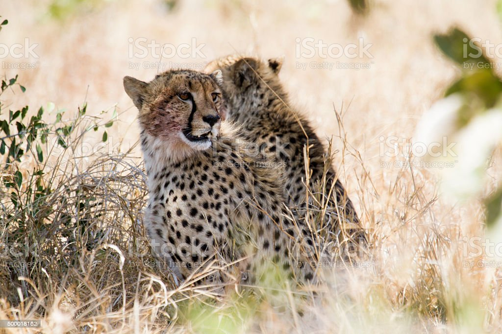 Cheetah in Kruger National park stock photo