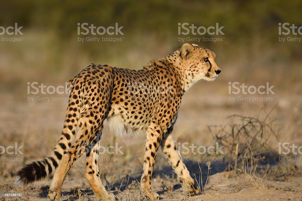 cheetah in namibia stock photo