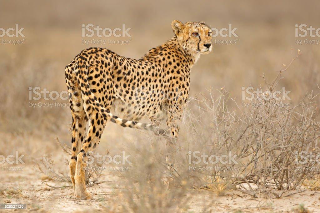 Cheetah in natural habitat stock photo