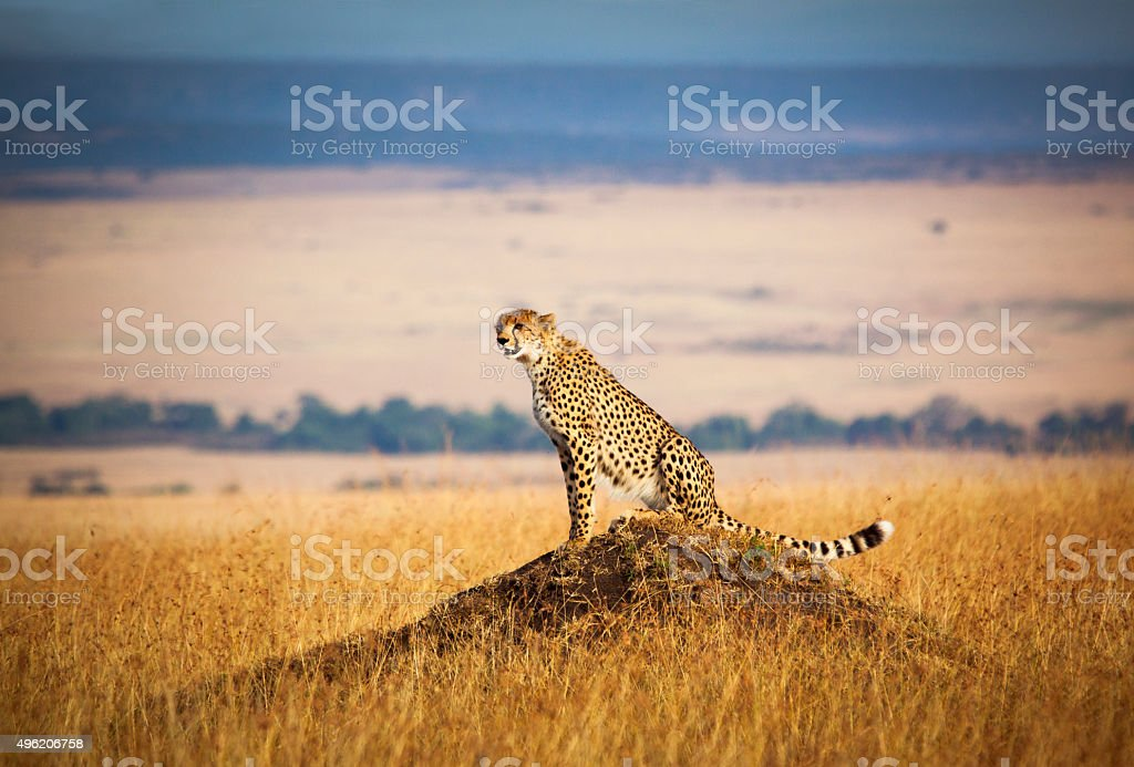 Lone cheetah looking out over the open savannah of the Masai Mara,...